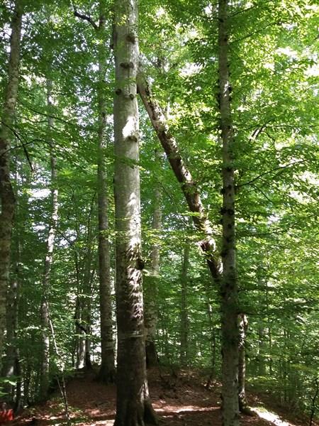pisagor ağacı yedigöller
