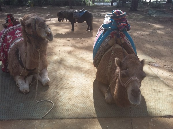 Kurşunlu Şelalesi yanında develer