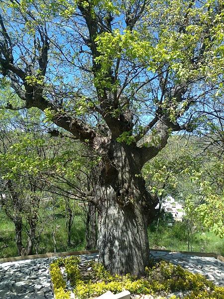 ali semerkandi meşe ağacı